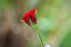 Budding New Rose by salman-khan