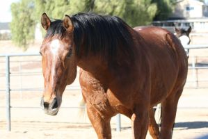 STOCK: Bay Horse7 by SnowPhotography