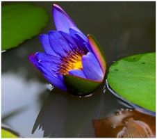 Blue Water Lily 2 by texasghost