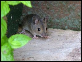 One Brown Mouse by cycoze