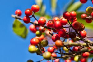 American Holly berries by TomFawls