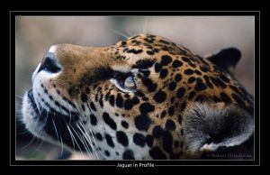 Jaguar in Profile by robbobert