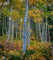 White Aspens and Colors HDR by mjohanson