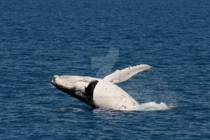 Whale Cub I by wilderBeest