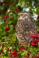 Little Owl by mansaards