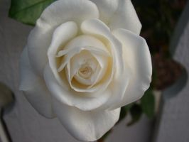 Single White Rose by stephuhnoids