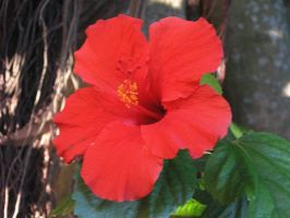 red hibiscus by onjibarulo