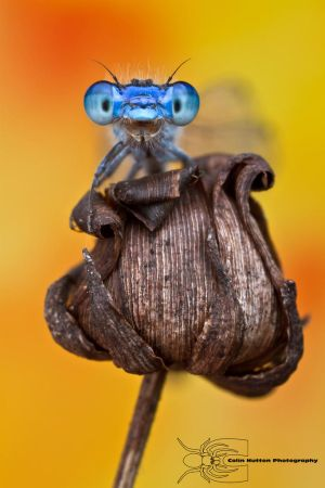 Enallagma civile - Familiar Bluet by ~ColinHuttonPhoto