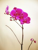 Orchid II by HermosaG