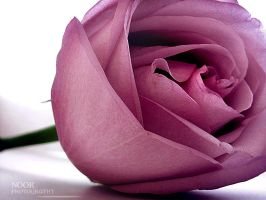 Pink Rose by NoorGraphy