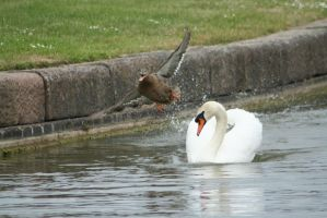 Swan Vs Duck by tammyins