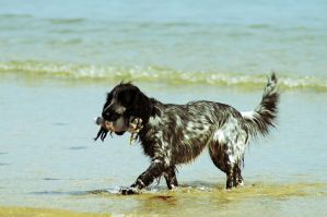 Spaniel by Taking-St0ck