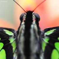 Papillon Les Yeux I by hyneige