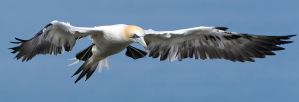 Landing gear down - Northern Gannet by Jamie-MacArthur