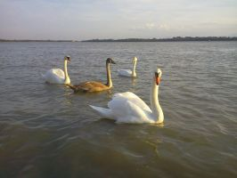 Swans by LisiTisaKi