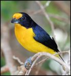 Violet Euphonia by craftworker