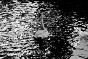 Cygnet, in Black/White by EarthHart