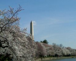 Cherry Blossoms and the Washington Monument by LittlePurpleElf