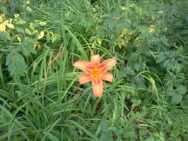 day lily's 6 by kingbob24