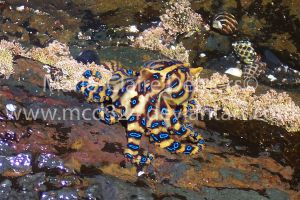 Blue-ringed Octopus by mcd324