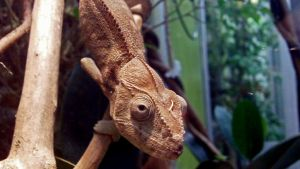 Chameleon by Geistson