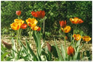 Tulips II by kissesfrom