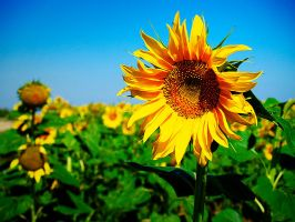 Sunflower by sican