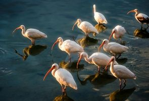 White Ibis by sciph