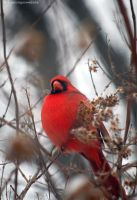 Cardinal Red 2 by penragonwebsite
