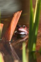 Peek a boo frog by Wadyface