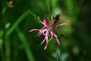 Ragged Robin by Criosdan