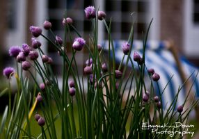 Thistles. Day 147 - 27/05/13 by oEmmanuele