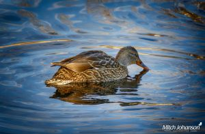 The Hen HDR by mjohanson