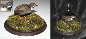 Taxidermy - Button Quail by Illahie