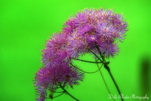 Purple Puff by DalePhotography