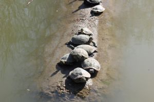 Turtles by EchosofNarcissus