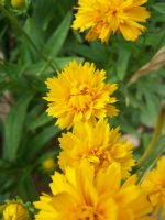 Yellow Flowers by theNanna