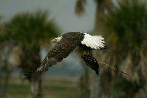 Fly Fishing Eagle Style by Kippenwolf
