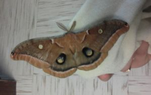 Polyphemus Moth by Caffinated-Pinecone