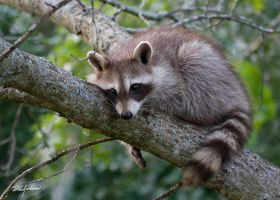 Baby Raccoon by DGAnder