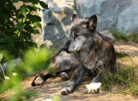 Resting wolf by mkuegler