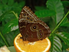 Some butterfly by Hansmar
