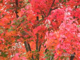 Flaming Maple by JMPorter