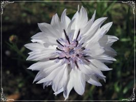 Centaurea, white by miss-gardener