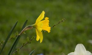 All Yellow Narcis by Danimatie