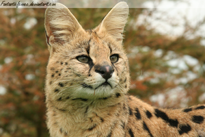 Serval II by FantasticFennec