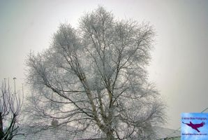 Silver Birch in Winter by AdrianBlake