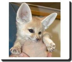 Fennec fox by fennecfoxx