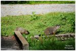 Two Young Groundhogs I Saw Near My House by TheMan268