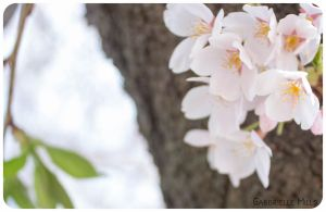Cherry Blossoms 1 by moofestgirl
